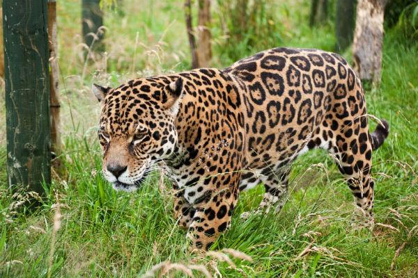 Keen photographer gets in jaguar enclosure