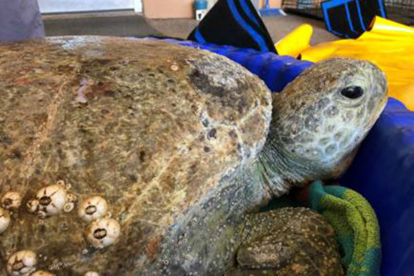 Sea Turtle Rescued from Port