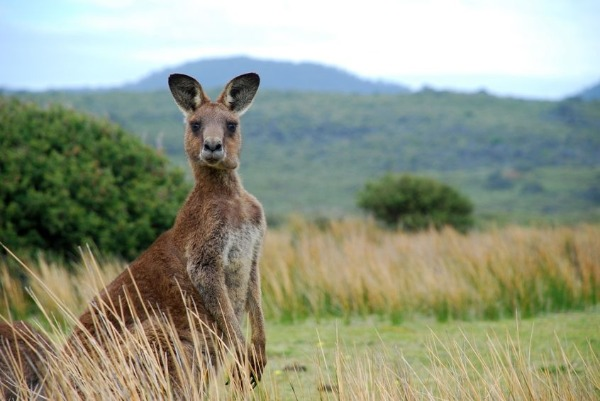 At least 40% of relocated kangaroos dead