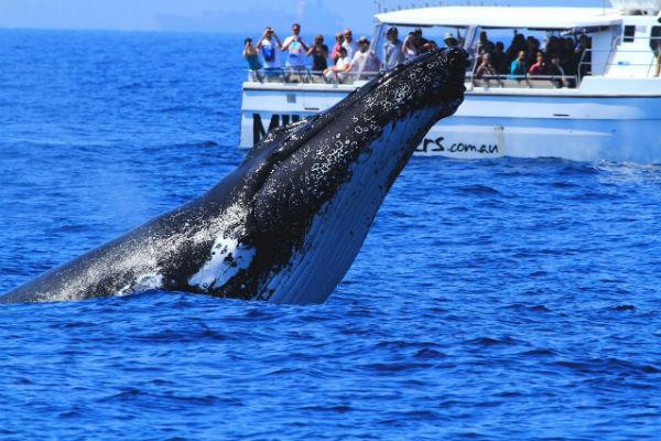 Humpbacks Make Their Way South