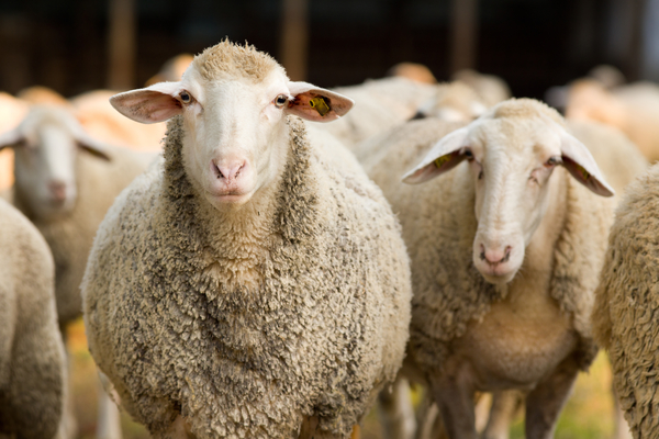 Article image for What are male and female sheep called? And other pressing (and comical) matters with Mick and Simon