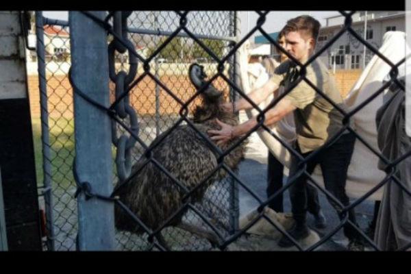 Wayward Emu rescued