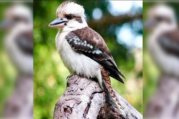 Did Kevin the Kookaburra have it coming?