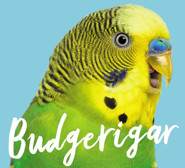Author Sarah Harris on new book Budgerigar about an old Australian favourite.
