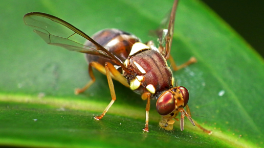 Queensland fruit fly alert – More of the Western suburbs now in the Quarantine Area