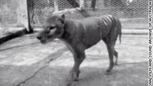 Article image for Tasmanian Tiger has Shrunk Overnight!