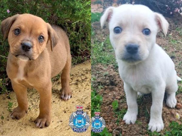 Designer breed puppy fraud