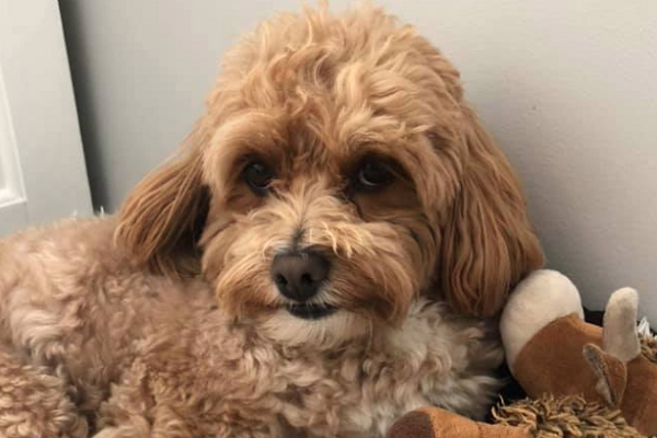 Calls for changes to how councils handle violent dogs after Cavoodle killed in Perth's north