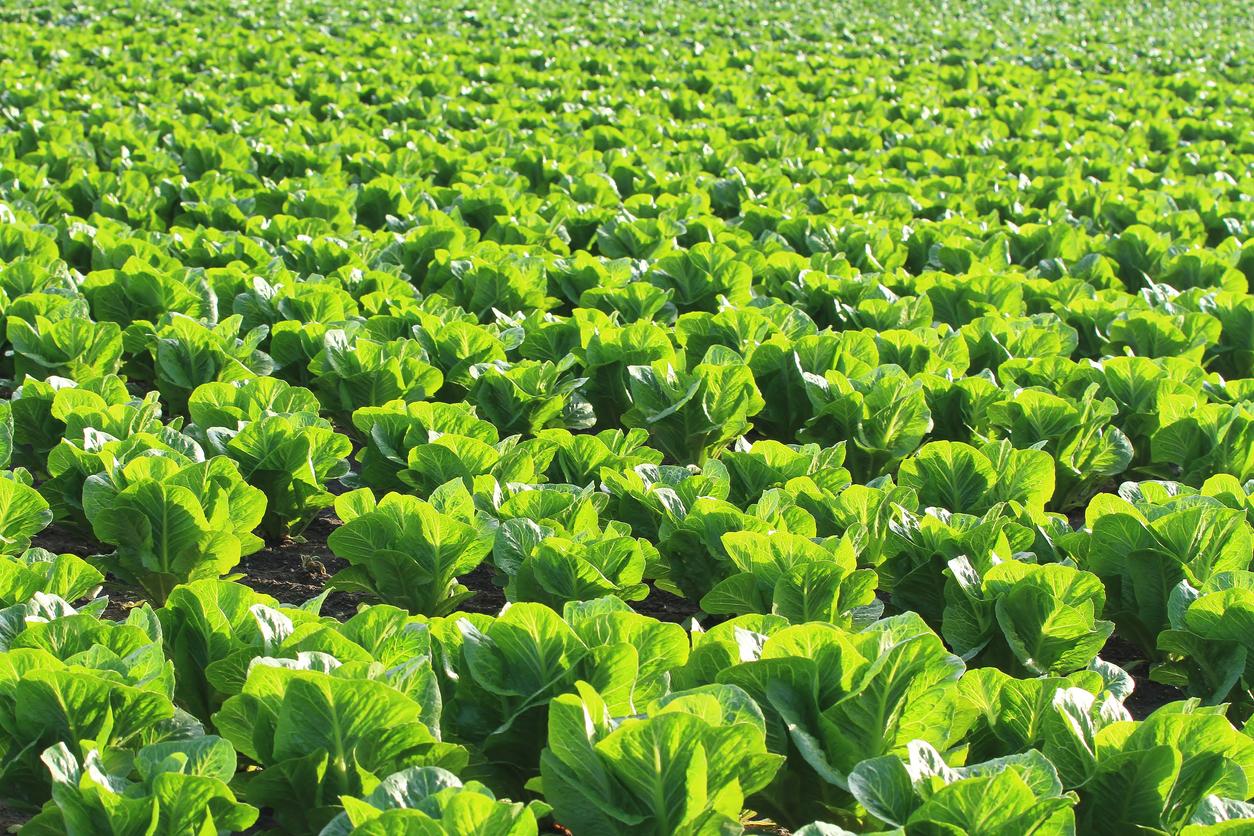 $100,000 worth of lettuce destroyed
