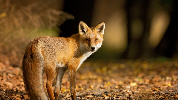Article image for A sly fox has been stealing boots