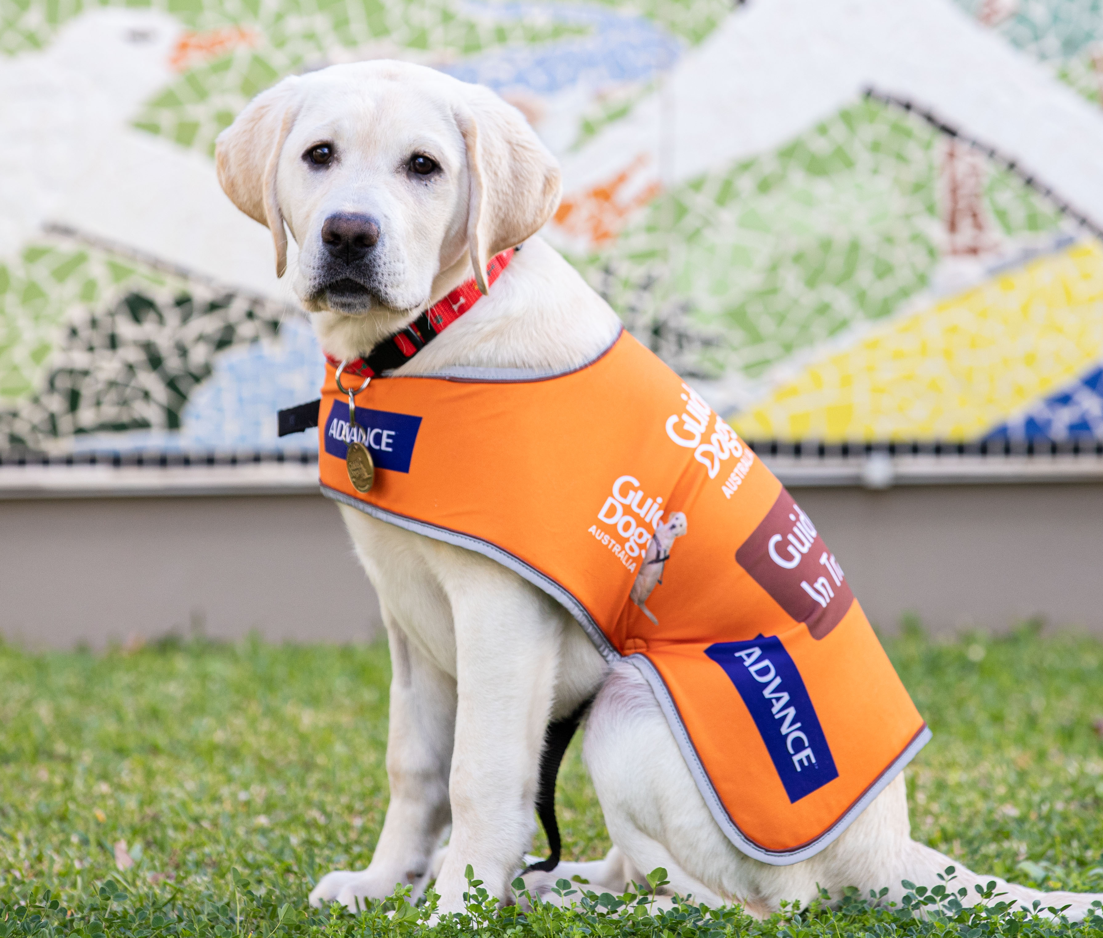 Want to help train a Guide Dog?