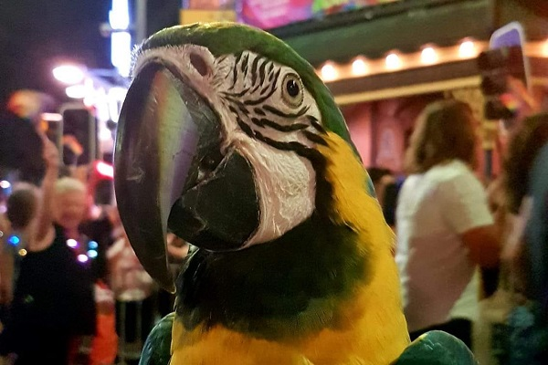 Article image for Tiberius, the 16 year-old disability service macaw, is due for retirement