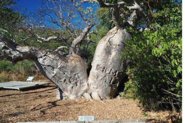 "The fascinating story of the Kimberley ""Mermaid"" boab tree"