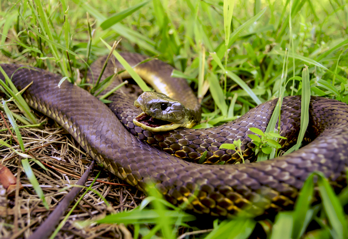 Aussie snakes: Bet you didn't know this