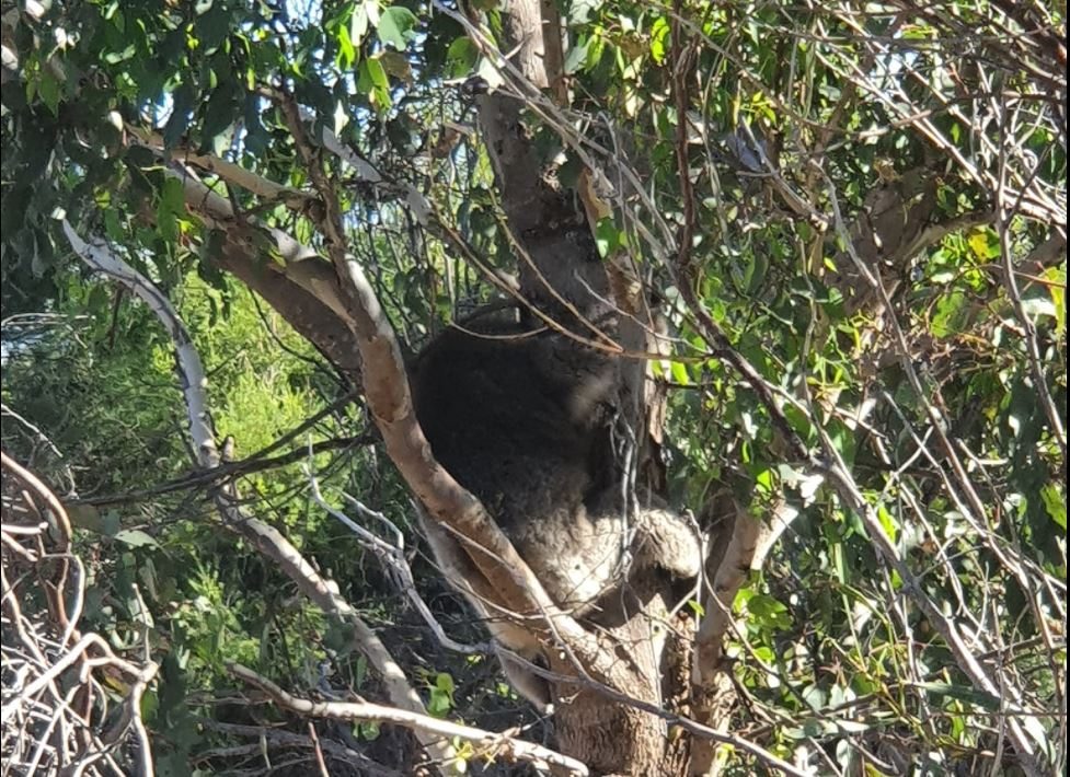 Article image for Missing koala found after desperate search near Adventure World