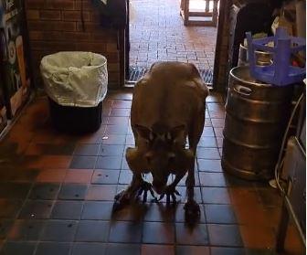 Article image for VIRAL VIDEO | Kangaroo hops into Perth pub