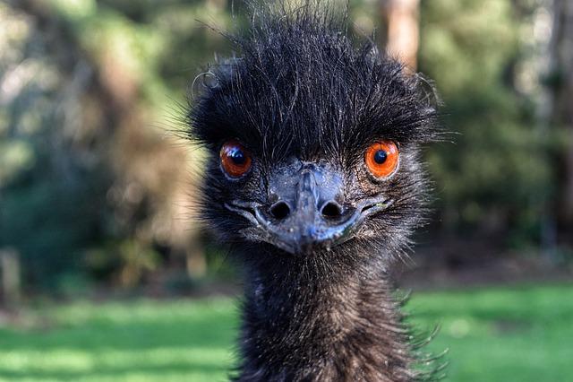 Meet Britain's unlikely Emu King