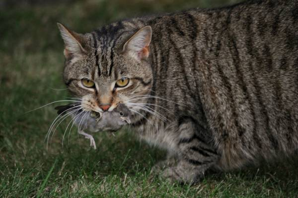 Billions of native animals a year killed by feral cats