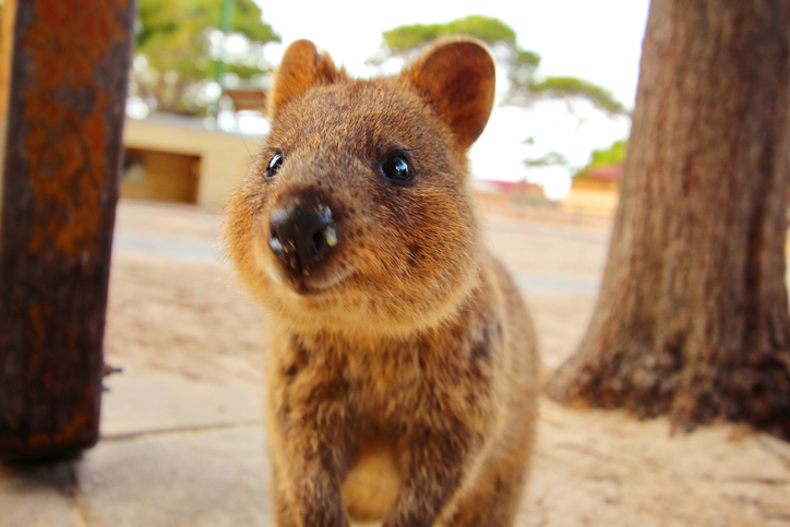 Article image for 500 bookings in 15 minutes: Why Rottnest Island has been flooded with bookings