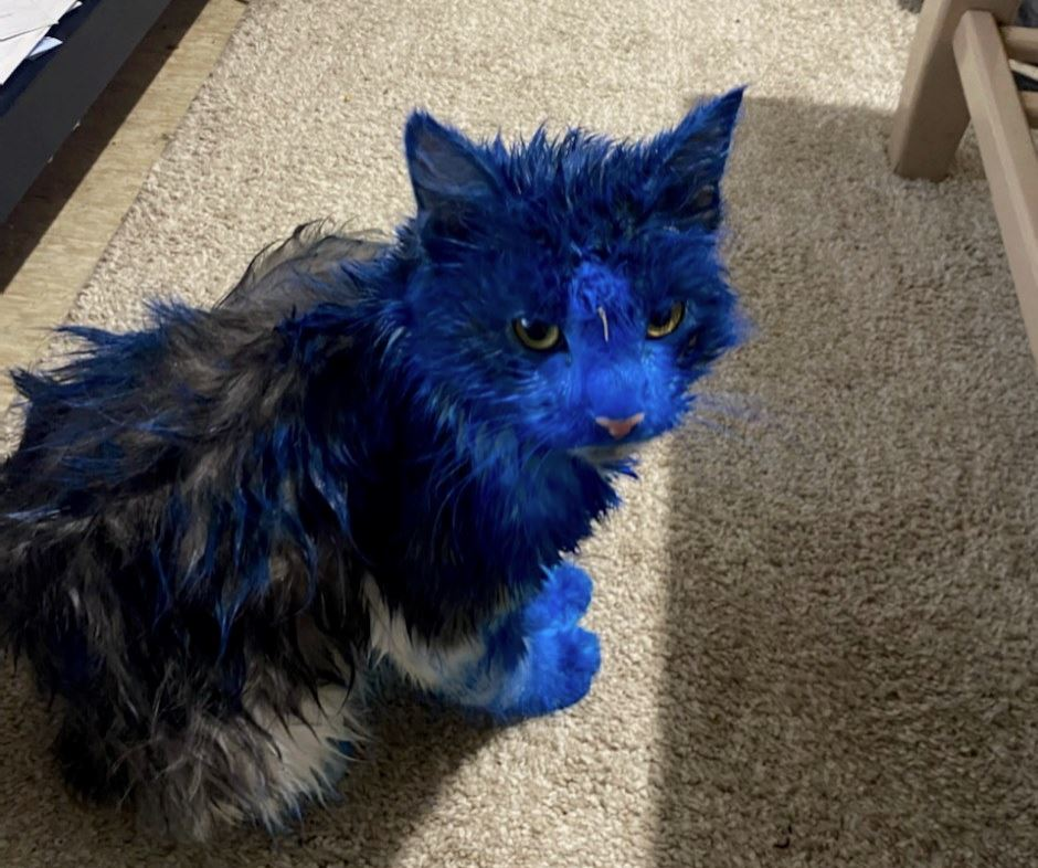 Article image for The RSPCA need your help to solve this blue cat mystery