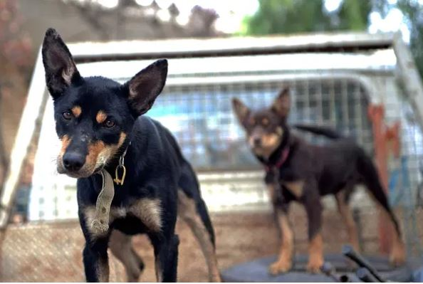 Article image for The staggering, world record sum paid for an Australian kelpie