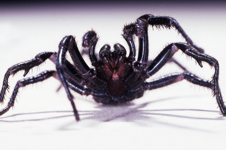 Article image for How deadly spider venom could help heart attack victims