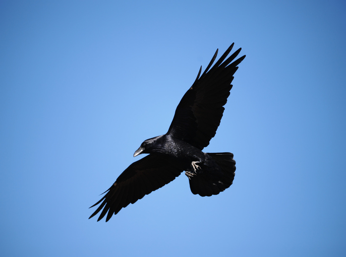 Article image for What students are doing to protect their lunches from ravenous ravens
